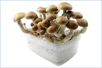 odla magiska svampar
