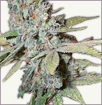 Skunk Special cannabis seeds