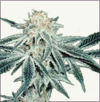 White Elephant feminized marijuana seeds