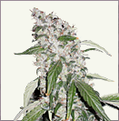 White Haze auto-flowering cannabis seeds
