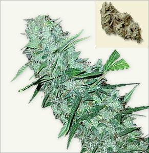 White Widow XTRM Kendiliğinden Çiçeklenen Tohumlar