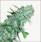 White Widow XTRM Autoflowering Marijuana Seeds