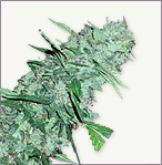 White Widow XTRM feminized marijuana seeds