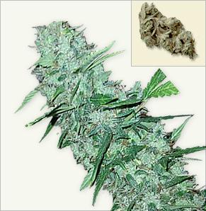 White Widow XTRM feminized marijuana frön