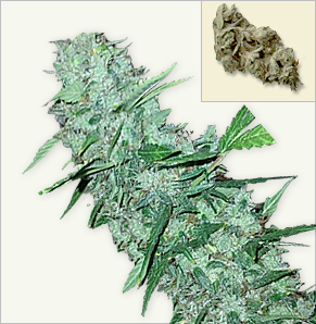 White Widow XTRM vrouwelijke marijuana zaden